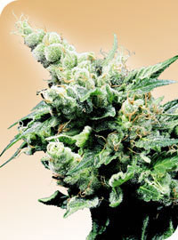 Hash Plant Regular Seeds