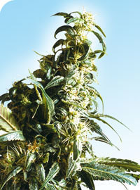 Mexican Sativa Regular Seeds