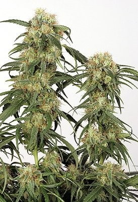 Pamir Gold Feminised Seeds
