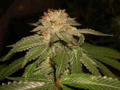 L.A. Confidential Feminised Seeds