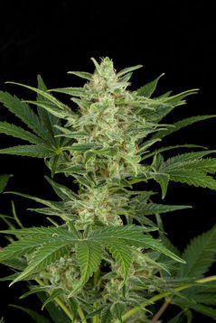 Critical Jack Auto Feminised