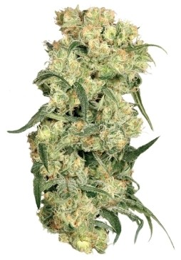 Freddy's Best Feminised Seeds