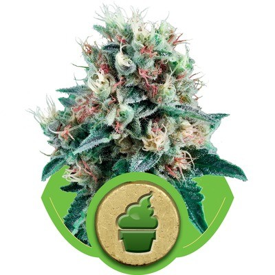 Royal Creamatic Auto Feminised Seeds