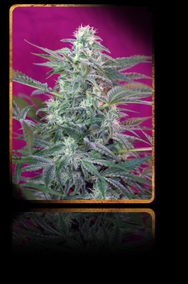 Big Foot Feminised Seeds