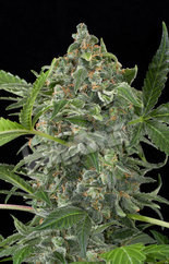 White Cheese Auto Feminised Seeds