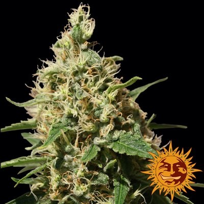 Peppermint Kush Feminised Seeds
