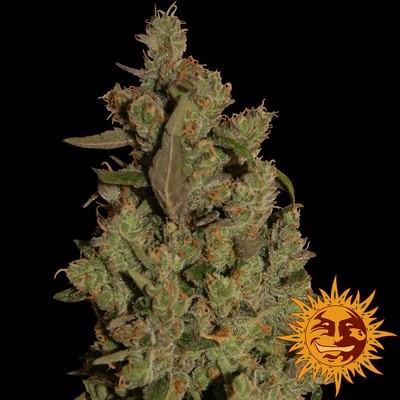Critical Cure CBD Feminised Seeds