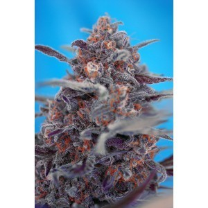 Devil Cream Auto Feminised Seeds