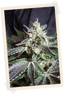 Black Jack FAST Version Feminised Seeds