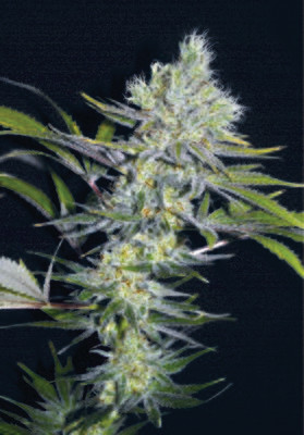 Sweet 'n' Sour Widow CBD Regular Seeds