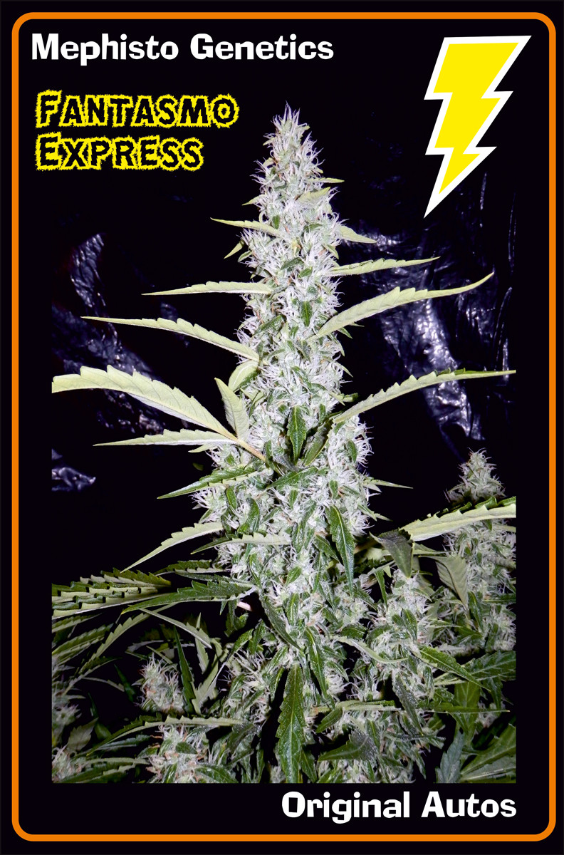 Fantasmo Express Auto Feminised Seeds