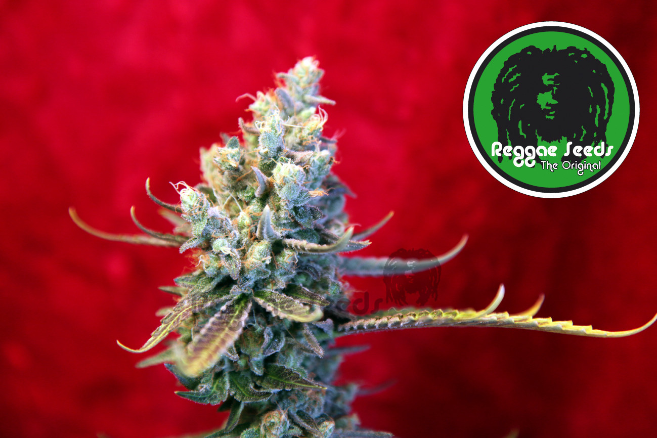Revolution Regular Seeds