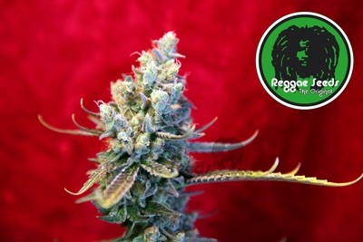 Revolution Regular Seeds