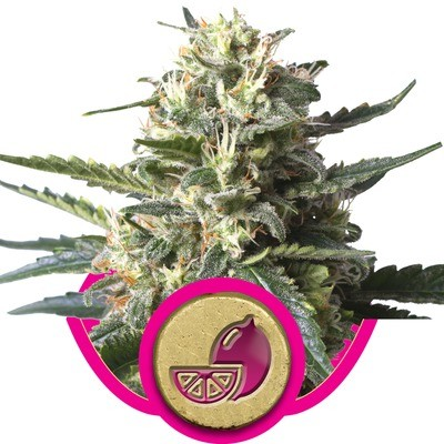 Lemon Shining Silver Haze Feminised Seeds
