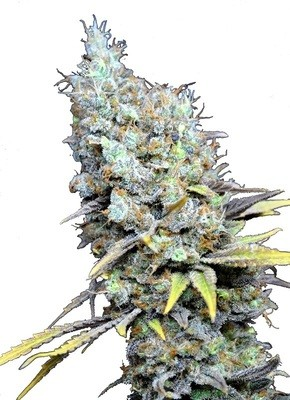 Big Bud Super Skunk CBD Feminised Seeds