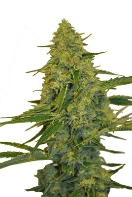 Chem Dawg CBD Feminised Seeds