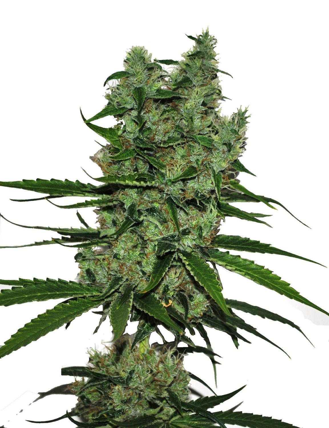 Somango CBD Feminised Seeds