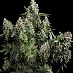 Tutankhamon Feminised Seeds