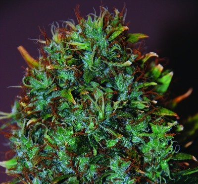 Expert Haze Feminised Seeds