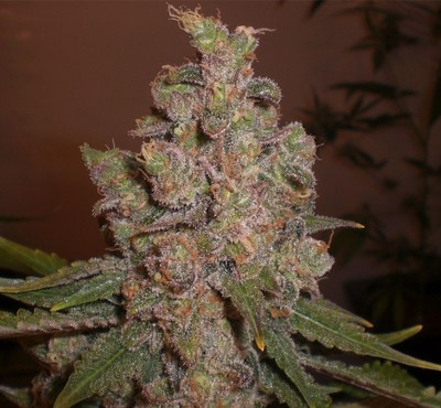 Cheese Feminised Seeds