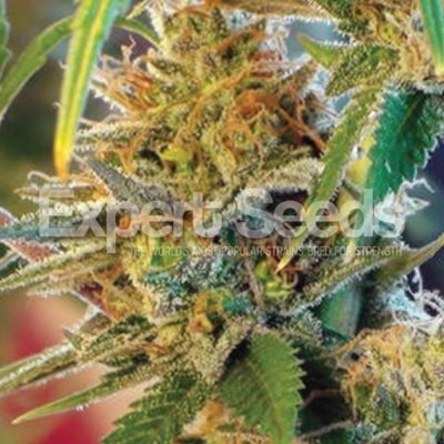 California Orange Feminised Seeds (formerly Orange Skunk)