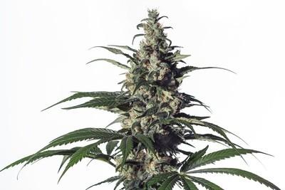 Green Doctor (GD - 1) Feminised Seeds
