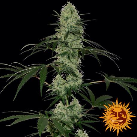 Tangerine Dream Auto Feminised Seeds