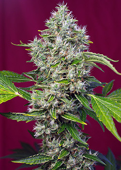 San Fernando Lemon Kush Feminised Seeds
