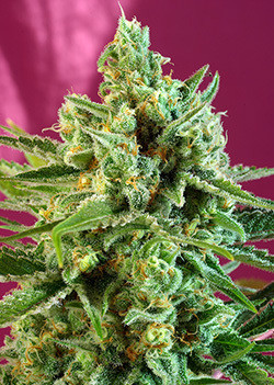 S.A.D. CBD Feminised Seeds