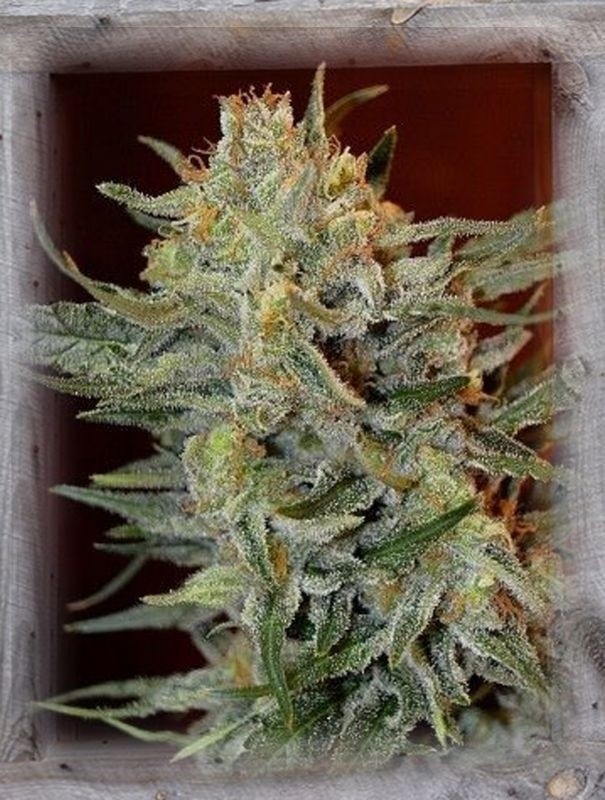 Kosher Kush Feminised Seeds