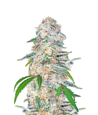 Blue Dream'matic Auto Feminised Seeds
