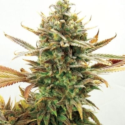 Super Critical Bud CBD Feminised Seeds