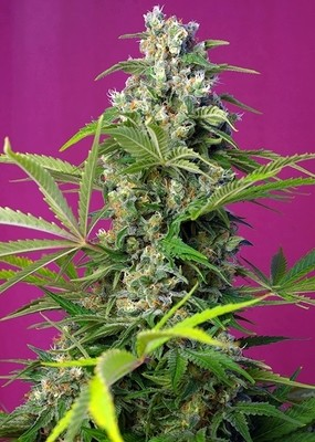 Gorilla Girl Feminised Seeds