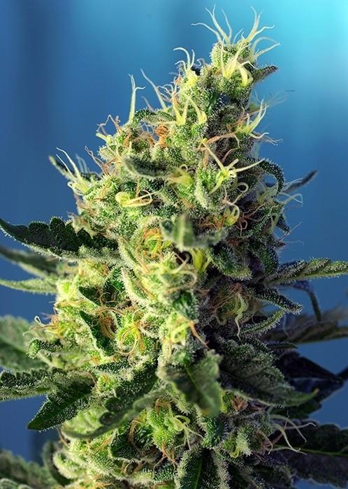 Sweet Pure CBD Feminised Seeds