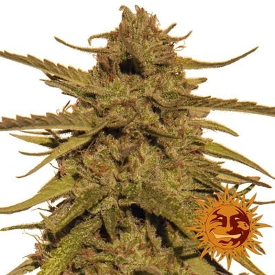 Pineapple Haze Regular Seeds - 10