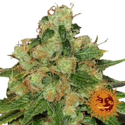 Caramel CBD Regular Seeds - 10