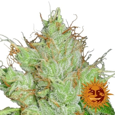G13 Haze Regular Seeds - 10