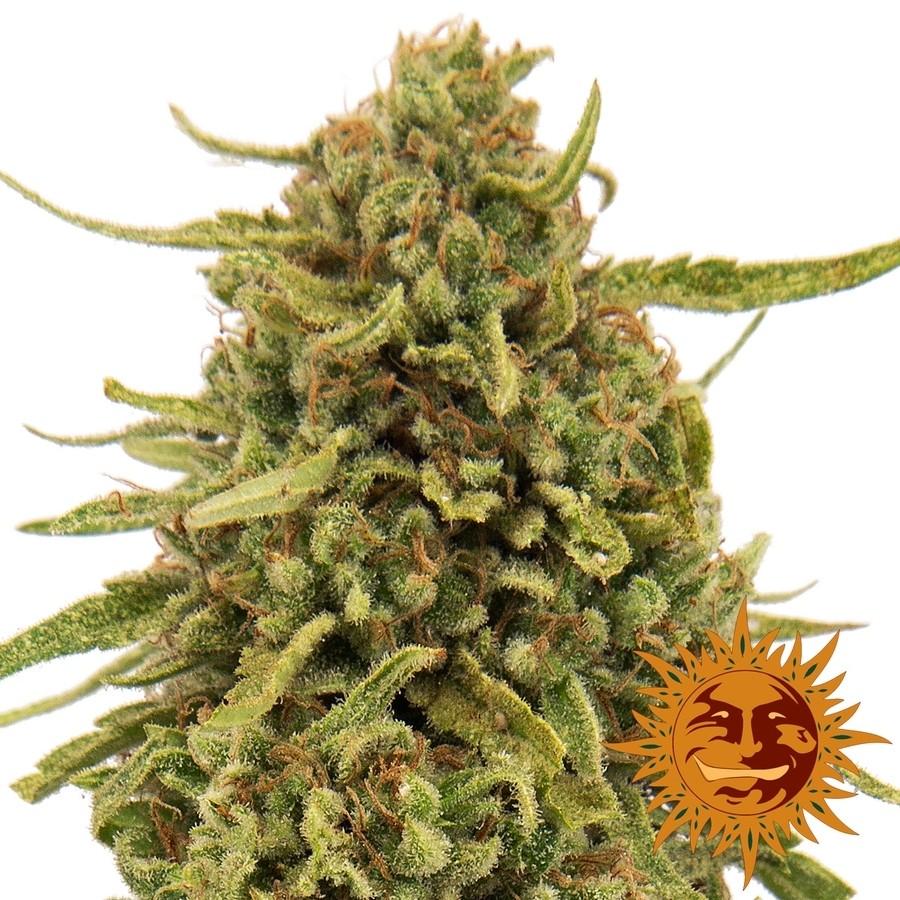 Widow Remedy Regular Seeds - 10