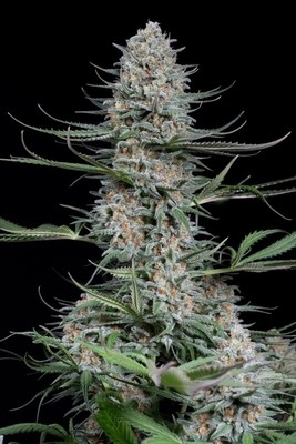 Quick Critical + Feminised Seeds