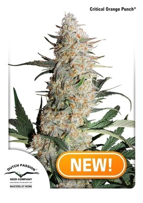 Critical Orange Punch Feminised Seeds