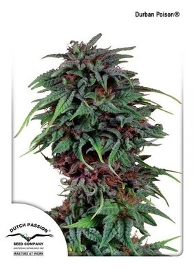 Durban Poison Regular Seeds - 10