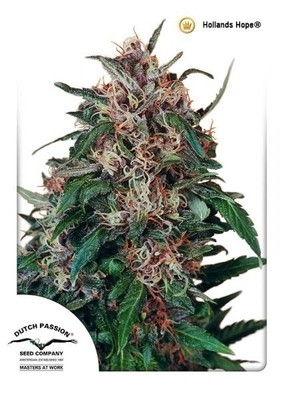 Hollands Hope Regular Seeds - 10