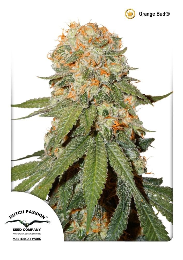 Orange Bud Regular Seeds - 10