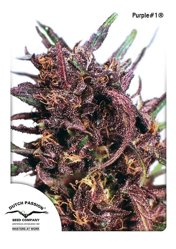 Purple #1 Regular Seeds - 10