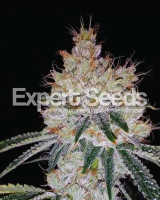 OGesus Auto Feminised Seeds