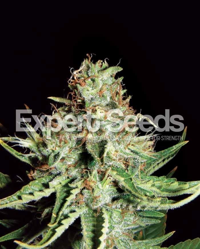 Sweet Cream Auto Feminised Seeds