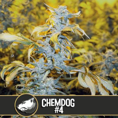 Chemdog #4 Feminised Seeds