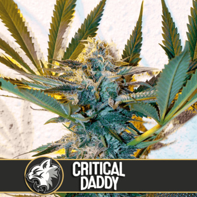 Critical Daddy Feminised Seeds