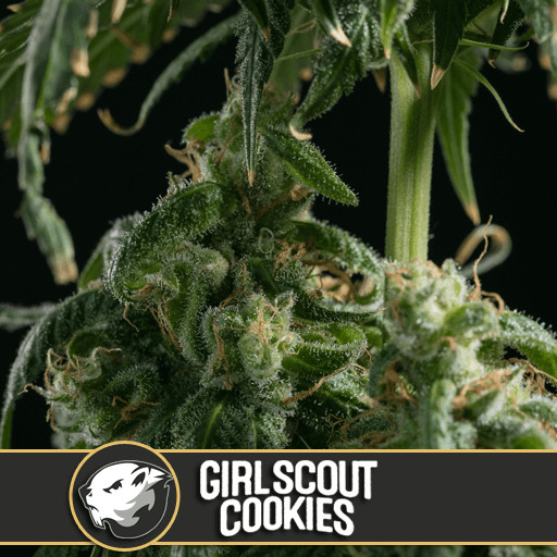 Girl Scout Cookies Feminised Seeds