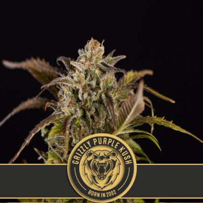 Grizzly Purple Kush Feminised Seeds